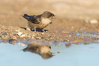 Rock Martin collecting mud to build its nest with, De Hoop Nature Reserve, Western Cape, South Africa