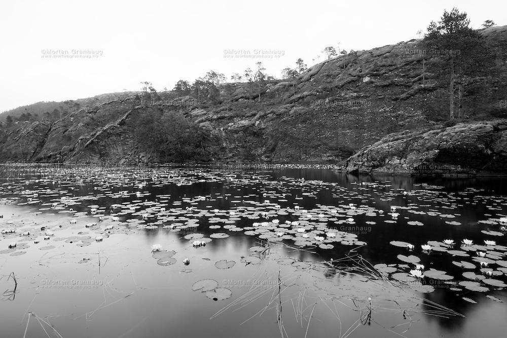 Water Lillies, Kolvereid, Northern Troendelag..Vannliljer Kolvereid, Nord-Trøndelag.