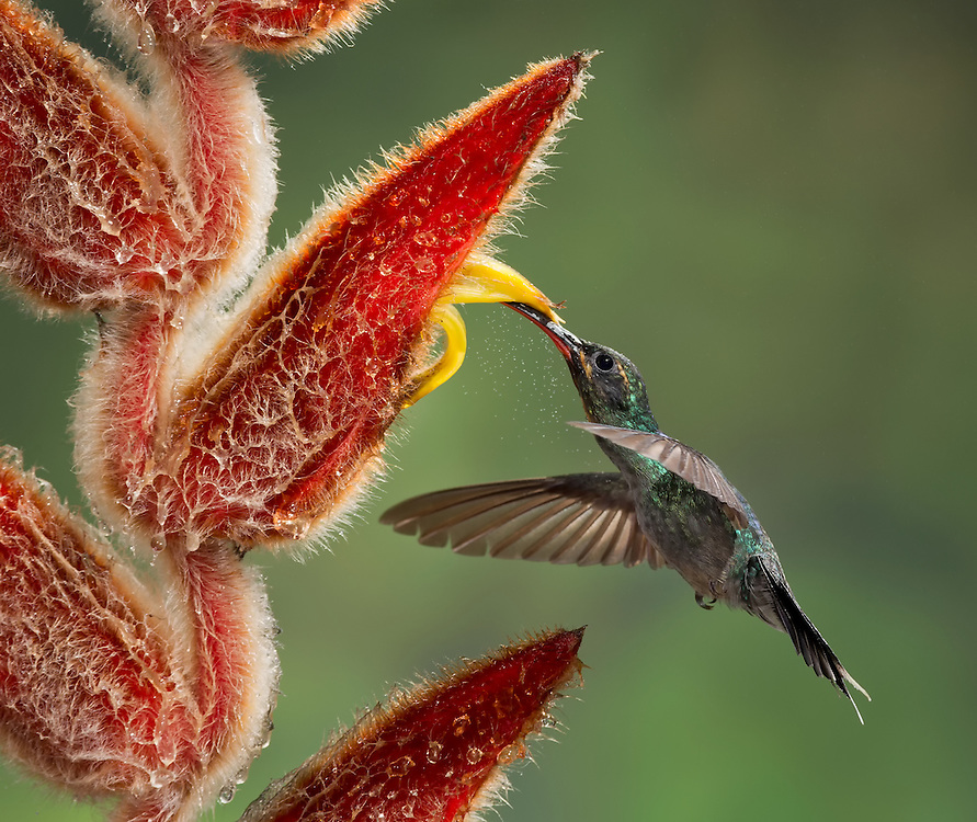 Female Green Hermit (Phaethornis guy) Hummingbird nectoring on a heliconia.