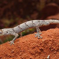 Spiny-tailed Gecko (Diplodactylus ciliaris). Western Australia.