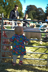 © Copyright licensed to London News Pictures. 06/10/2010. A toddler gazes at a rare sight in London - a flock of sheep - on an unseasonably warm day at Parliament Hill, Hamsptead Heath, London. The Annual Heath Heritage Festival hosts the annual Hampstead Heath Conker Competition. Representatives of the RSPB, National Trust, volunteer group Heath Hands, local beekeepers and woodworkers were in attendance.
