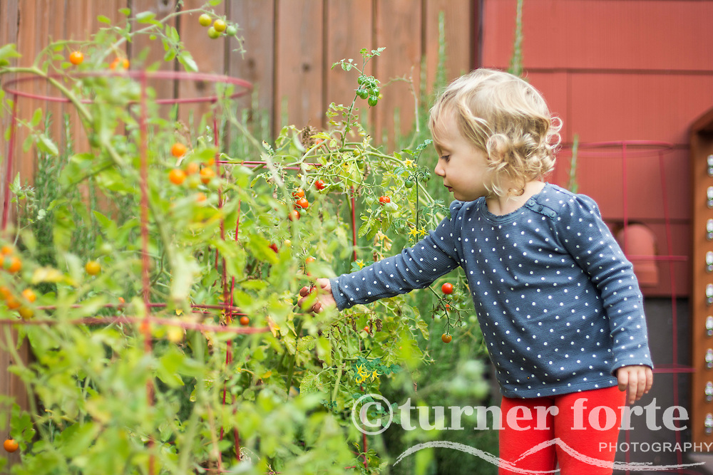 Toddler girl picks fresh cherry tomatoes in home garden, Portland, Oregon.