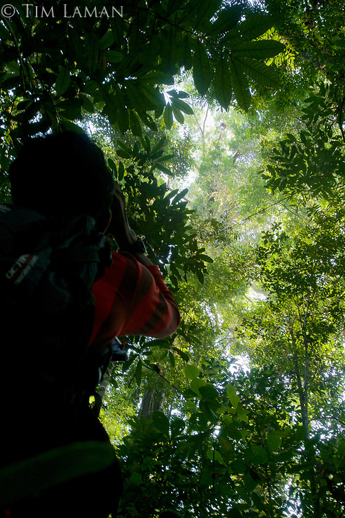 Wide view looking up at an orangutan high in the canopy.  Research assistant Toto.<br />