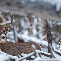 muledeer bucks winter snow