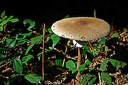 brown mushroom in forest
