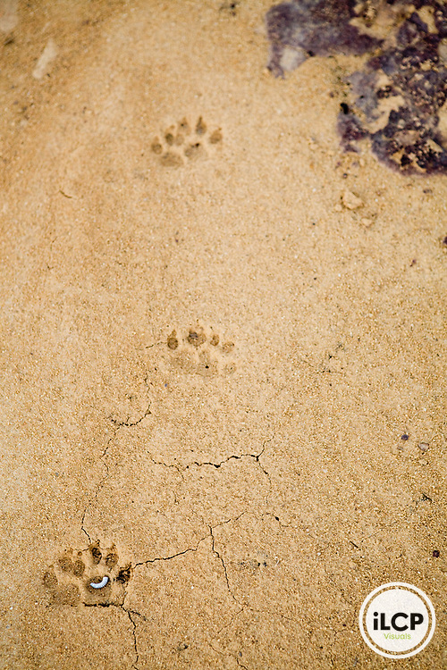 African Civet (Civettictis civetta) tracks in dried soil, Lope National Park, Gabon