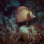 Angel fish on coral reef..Cozumel, Quintana Roo..Mexico.