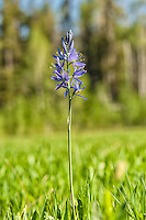 A common camas growing in a meadow in Northwestern Wyoming on a bright late-June morning. The bulbous roots are historically  a very important food source for several of the indigenous American peoples throught the western states, north of the deserts of the Southwest.