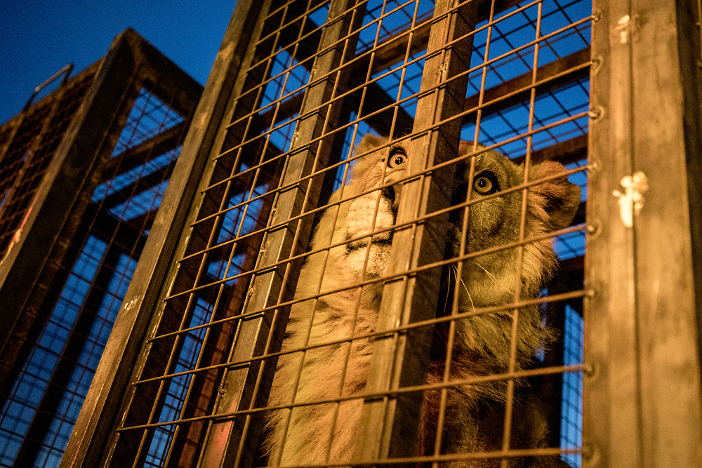 Simba inside of his cage in an area far from the fighting in Mosul. Simba and Lula would later be transferred to an animal sanctuary in Jordan. Bartella, Iraq. Mar. 30, 2017. (Photo by Gabriel Romero ©2017)