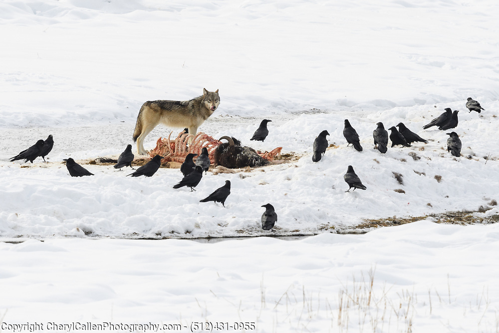 Wild Wolf from the Wapiti pack in Yellowstone eating a Bison carcass