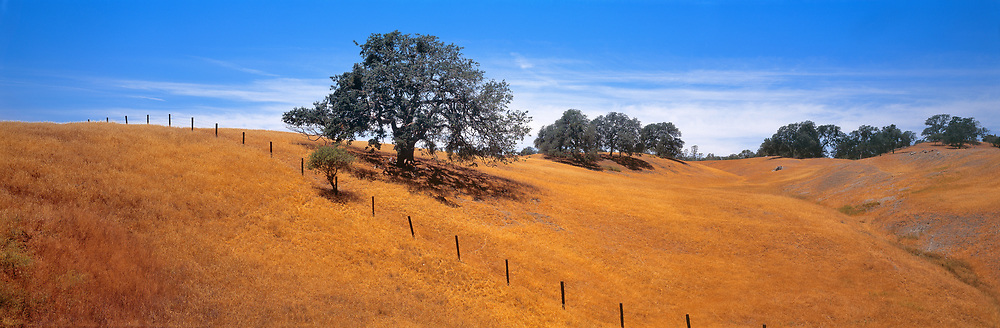 Live oaks adorn the Coast Range in California.