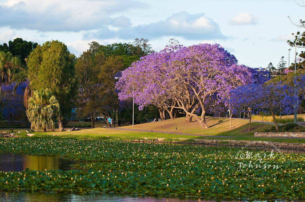 Flowering Jacaranda Trees on the University of Queensland campus, Brisbane, Queensland, Australia