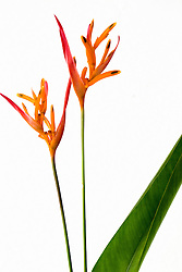 Heliconia, Golden Torch#2
