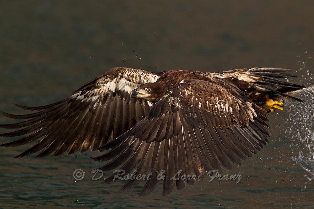 Immature bald eagle in Alaska fishing