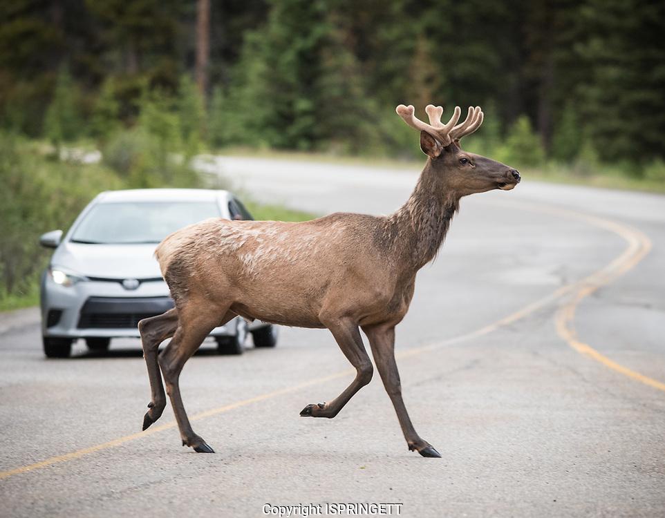 Elk bull. Wapiti. (Cervus canadensis), Alberta, Canada, Isobel Springett