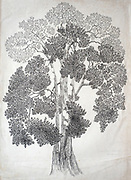 """Jak Tree. by Lake Senanayake.<br /> Pen and Ink. paper. circa 1973<br /> 21"""" x 16"""" Ink on paper."""