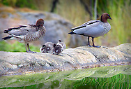 Australian wood duck family, Kings Park, Perth, Western Australia