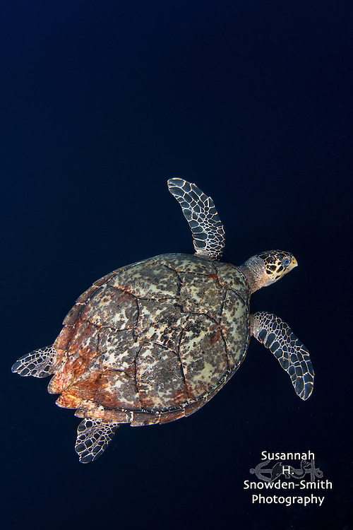 """Mosaic"" - A hawksbill turtle passes by Babylon dive site. East End, Grand Cayman"