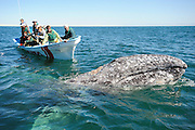 Tourist boat near a large gray whale
