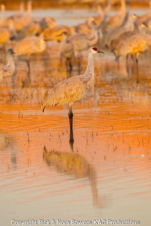 Sandhill Crane <br /> Grus canadensis tabida <br /> Bosque del Apache National Wildlife Refuge, New Mexico, United States<br /> 16 December       Adult at dawn.           Gruidae