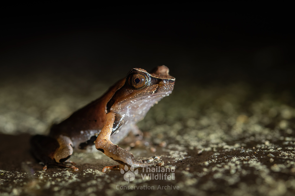 Megophrys major is a species of toad found in Thailand.