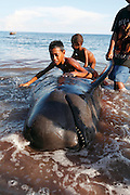 Children play on a pilot whale caught out at sea by a harpooner. The Indonesian village of Lamalera has hunted whales, sharks and dolphins for the last 500 years. Their method is to leap from a small wooden boat with a long harpoon made of bamboo and spear the animal. Once brought to shore the animal is divided in to parts and distributed to the community, partly for consumption and partly for exchanging with other inland communities for corn and rice..On the 21 May 2009 at the World Oceans Conference, the Indonesian government officially declared 3.5 million hectares of critical marine habitat in the Savu Sea for conservation. Though government representatives have assured that traditional whaling -- which has been supporting the surrounding communities' means of living -- will not be banned in the area immediately outside the zone, concerns still remain. Lamalera is one of the last remaining Indonesian whaling communities and is categorized by the International Whaling Commission as aboriginal whaling..