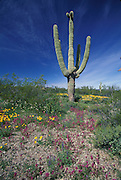 Sonoran Desert with Saguaro; Arizona, Organ Pipe Cactus Nat. Mon