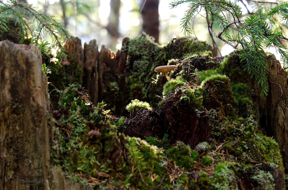 Sun-dappled moss and mushrooms in a tree stump, Baxter State Park, Maine.