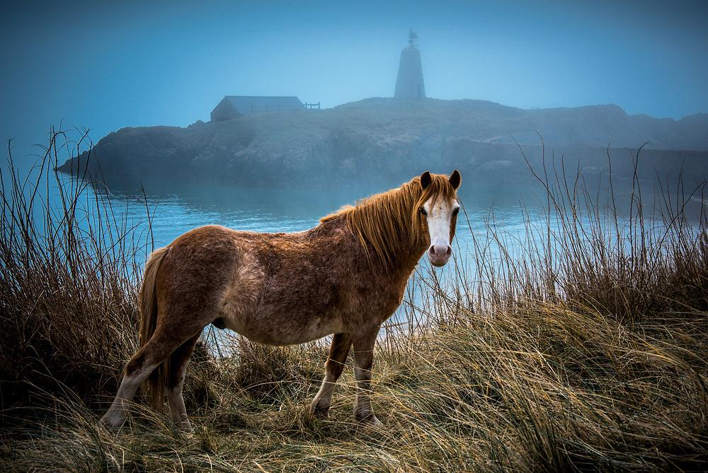 Llanddwyn Island Pony, Wales
