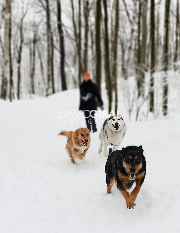 Husky and other dogs having fun in the Snow on the trails in Mont Royal Park in Winter, Parc du Mont Royal, Montreal, Quebec, Canada