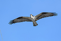 Osprey (Pandion haliaetus) in flight, Petite Riviere, Nova Scotia, Canada,