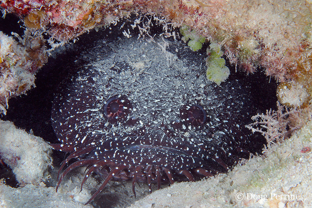 whitespotted toadfish, Sanopus astrifer, Turneffe Atoll, Belize, Central America ( Caribbean Sea ); endemic to Belize, common only at Turneffe Atoll