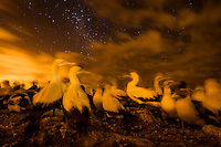 Cape Gannets at night on their nests, Malgas Island, West Coast National Park, Western Cape, South Africa
