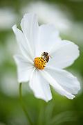 Cosmos bipinnatus 'Purity' - garden cosmos