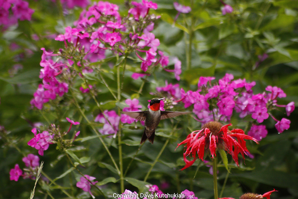 male humming bird deciding what's best, phlox or beebaum
