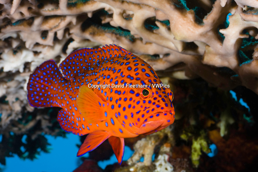 Coral groupers, Cephalopholis miniata, are a common sight on Indonesia's reefs and can be recognised by the pattern of bright blue spots on an orange-red background. Bali, Indonesia.