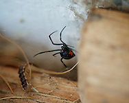 black widow porch spider latrodectus mactans