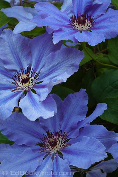 blue Clematis cultivar flowers