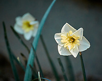 Yellow and White Daffodil. Image taken with a Nikon N1V3 camera and 70-300 VR lens (ISO 500, 300 mm, f/5.6, 1/250 sec).