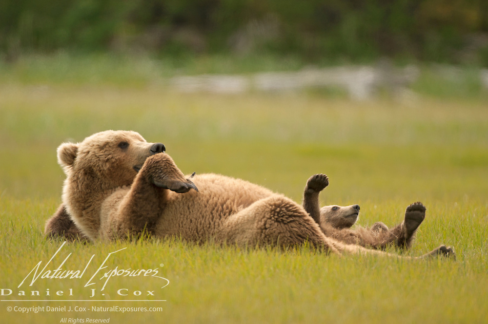 An Alaskan Brown Bear cub (Ursus middendorffi) imitates its mother lying on its back. Spring in Katmai National Park, Alaska