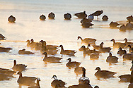 00748-05512 Canada Geese (Branta canadensis) flock on frozen lake,  Marion Co, IL