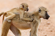 A baby Baboon takes a ride on the back of his mother..South Luangwa National Park, Zambia, Southern Africa..© Zute & Demelza Lightfoot.www.lightfootphoto.com..