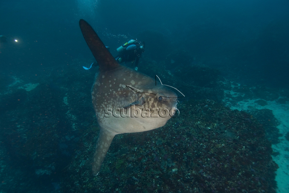 Ocean Sunfish, Mola mola, with diver, Great Ocean Adventures shoot, Bali, Indonesia.