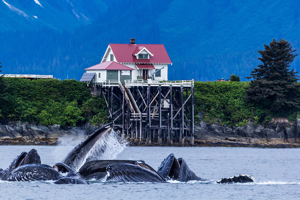 Humpbacks feeding in front of the Point Retreat Lighthouse facility.