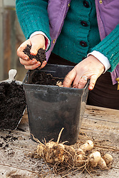 Starting a dahlia tuber back into life in early spring by potting up into a plastic pot filled with fresh compost and placing in a light and warm place