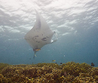 Yap, Micronesia, manta rays and reef fish at Manta Fest 2011 at Manta Ray Bay Hotel.