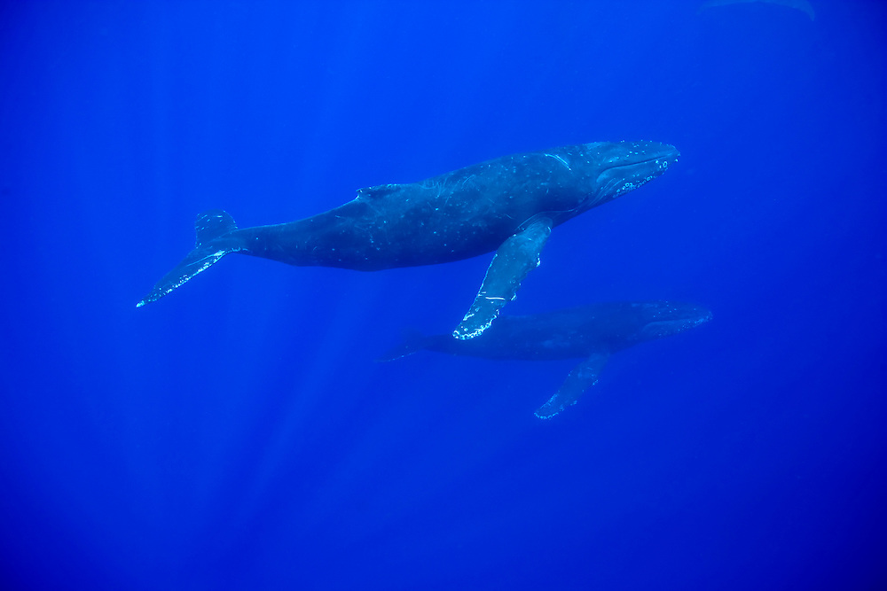 USA, Hawaii, Big Island, Underwater view of Humpback Whales (Megaptera novaengliae) swimming in Pacific Ocean