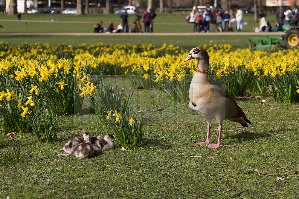 © Licensed to London News Pictures. 10/03/2015. London, UK. A female egyptian goose watches over her goslings in the daffodils as they sleep in the sunshine during sunny spring weather in St James's Park in London today. Photo credit : Vickie Flores/LNP