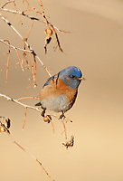 Western Bluebirds like this male perch in branches and watch the ground for insects and berries to eat.