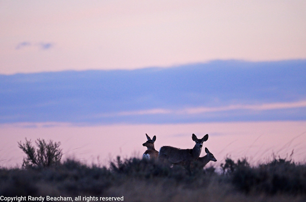 Mule deer at sunrise in spring. American Prairie Reserve south of Malta in Phillips County, Montana.